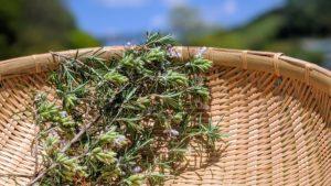 ローズマリーの収穫